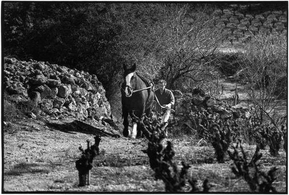 Vendange équestre sur le Domaine Borie de Maurel